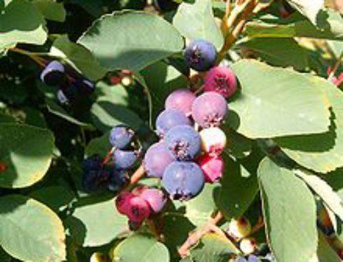 Service Berries